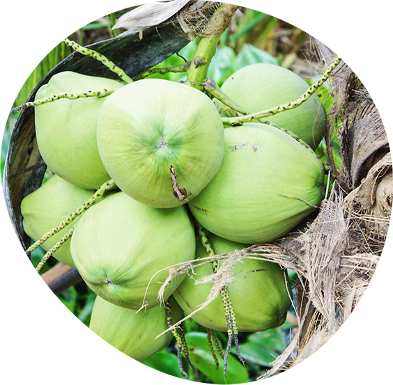 Close up of Nam Hom coconuts on a tree